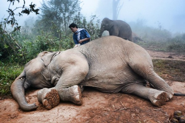 This might look like the elephant is refusing to get up because it's too sleepy (aww), but actually is just the mahout tapping off the dust and dirt from its back.